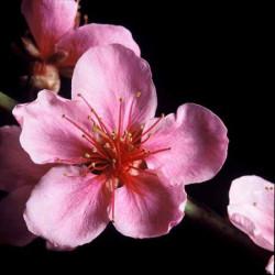 Image 3D - gk3030039 - 30x30 - fleurs roses sur fond noir