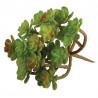 """Plante Succulent """"Sedum"""", 9,5x8cm"""