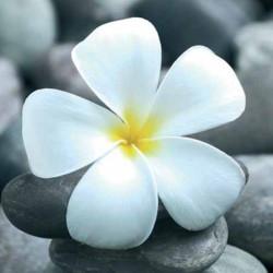 Image 3D - dm337674 - 30x30 - solo fleur blanche - papier brillant